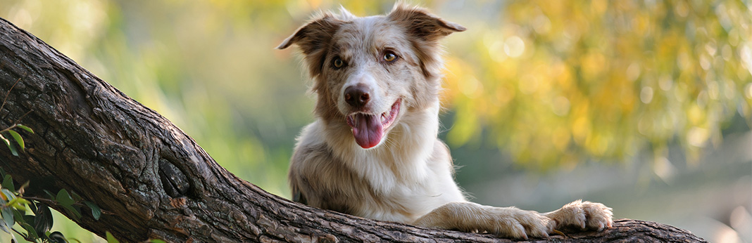 Border Collie Mixes – Unbelievably Charming Collie Cross Breeds