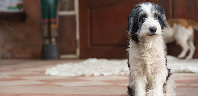 Border Collie and Poodle Mix