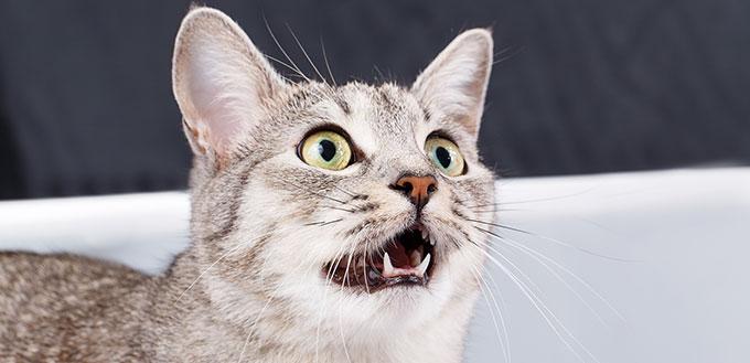 Gato caterwauling