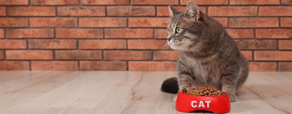 Cat near a food bowl indoors