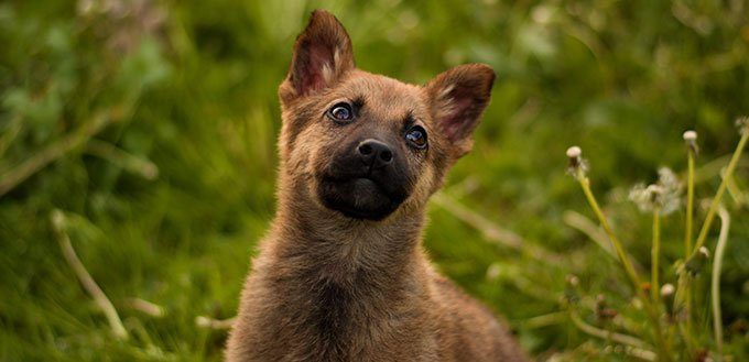 Cute belgian malinois mix puppy posing and playing on the flowery meadow with dandelions