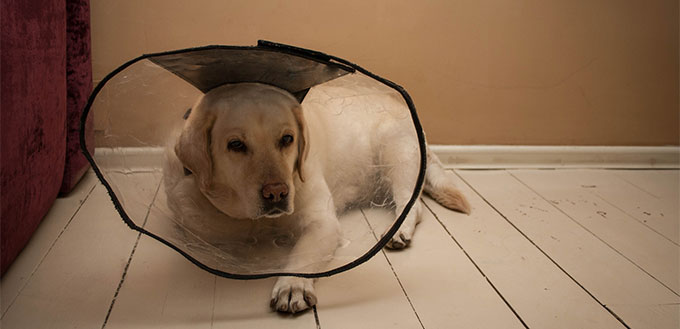 Dog with a protective collar