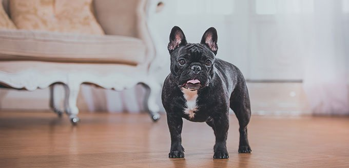 French bulldog in a classical setting in the studio