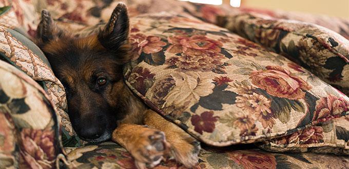 German shepherd dog lying