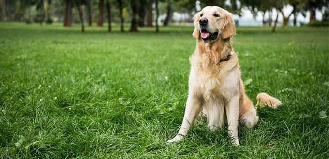 Golden retriever dog sitting on green lawn in park