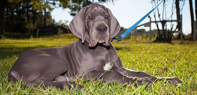 Great Dane Puppy lying