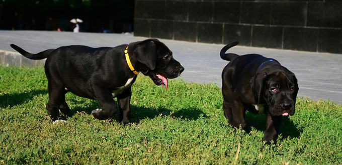 Great Dane puppies walking in the park