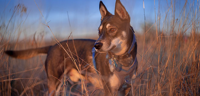 Husky Mix Dog in a Field During Sunset