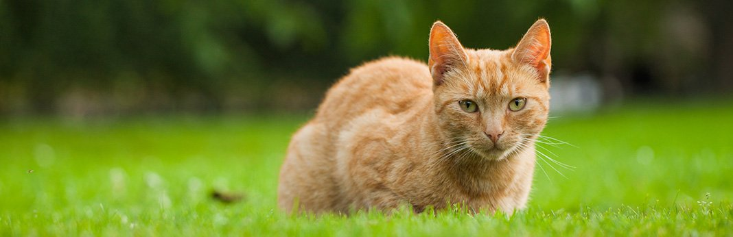 Hyperthyroidism in Cats (Overactive Thyroid) - Symptoms and Treatment