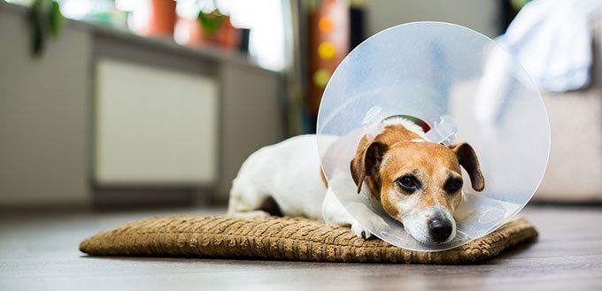 Jack Russell dog with vet Elizabethan collar