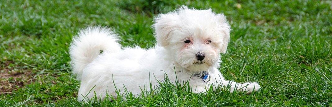 Maltese Puppies For My Pet Needs
