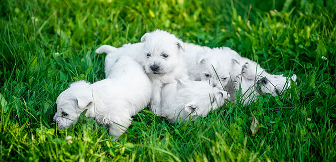 Maltese puppies in the grass