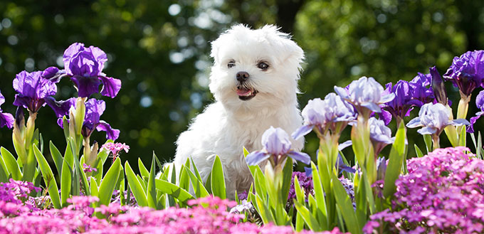 Maltese puppy and flowers