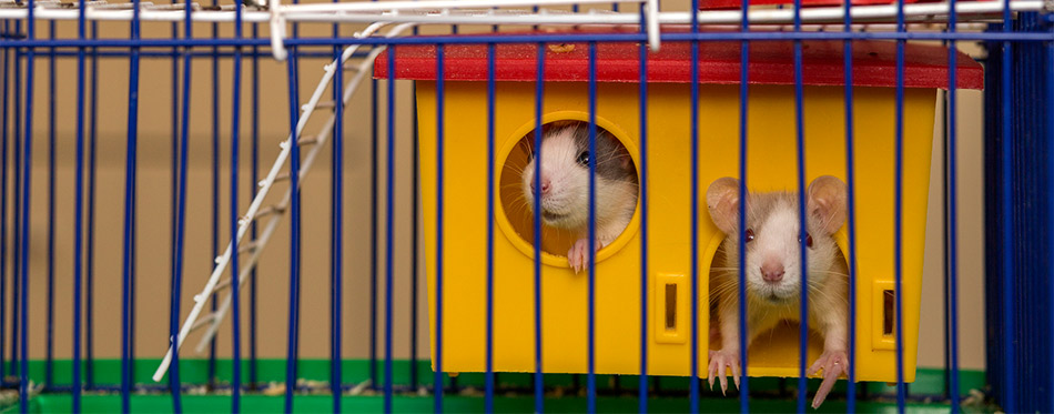 Mice in the cage