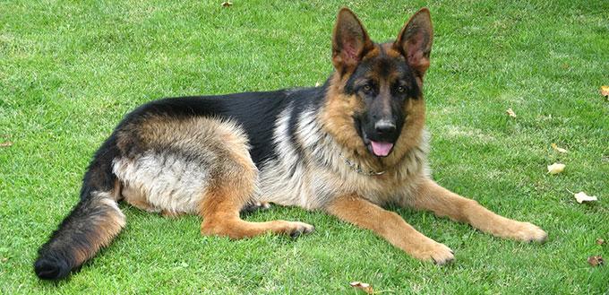 Police dog (German shepherd dog)