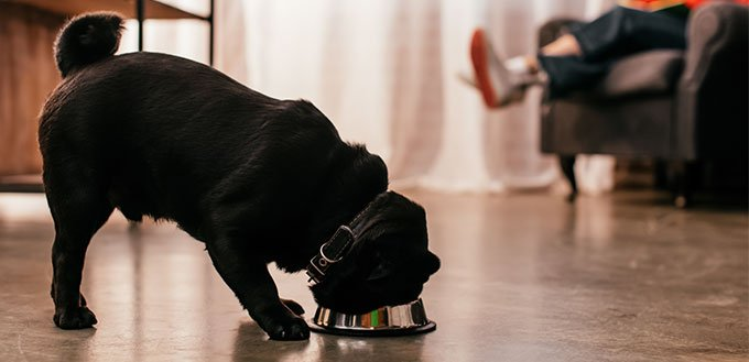 Pug eating from a bowl