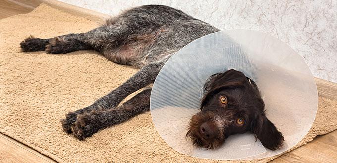Sad dog with plastic elizabethan collar