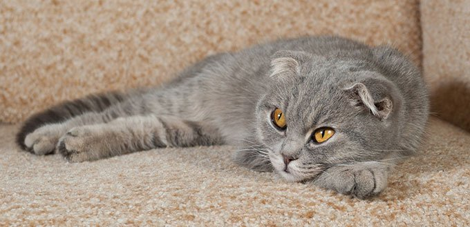 Scottish fold gray cat lying on couch