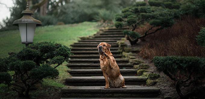 Shar Pei mix dog on the steps.