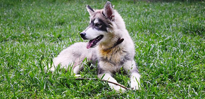 Siberian husky mix with Alaskan malamute puppy