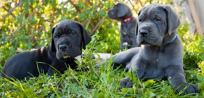 Three Gray Great Dane puppies