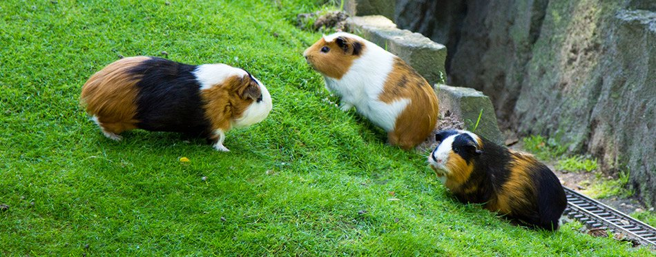Three Guinea pigs on the grass
