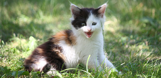 Tricolor kitten meowing