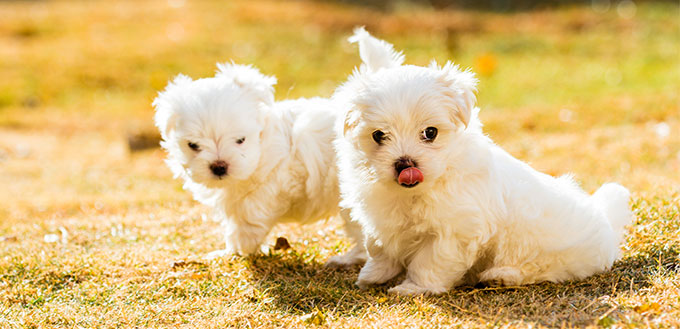 Two Maltese puppies