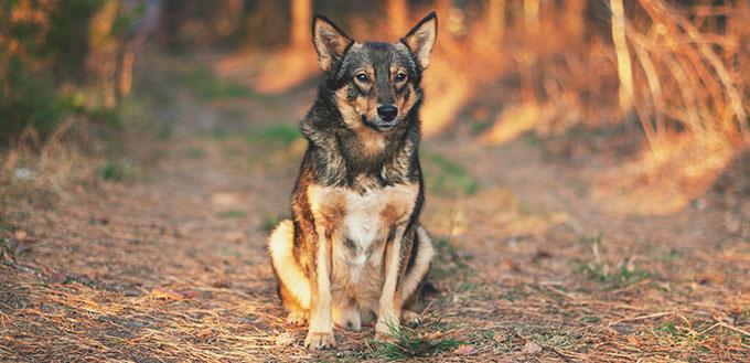Wolf/Dog Hybrid