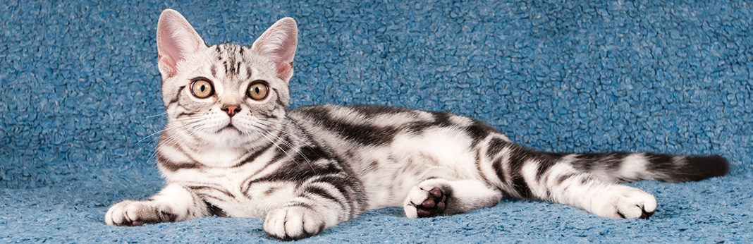 American Shorthair Cat: Breed Information, Characteristics, and Facts