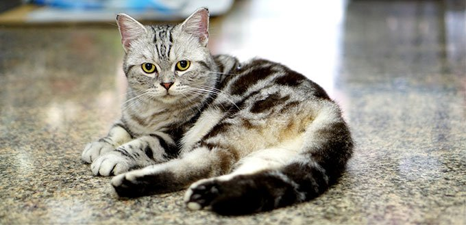 American Shorthair Cat Breed Information Characteristics And Facts