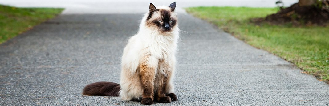Balinese Cat: Breed Information, Characteristics, and Facts