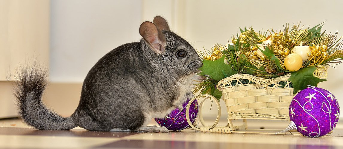 Best-Toys-for-Chinchillas