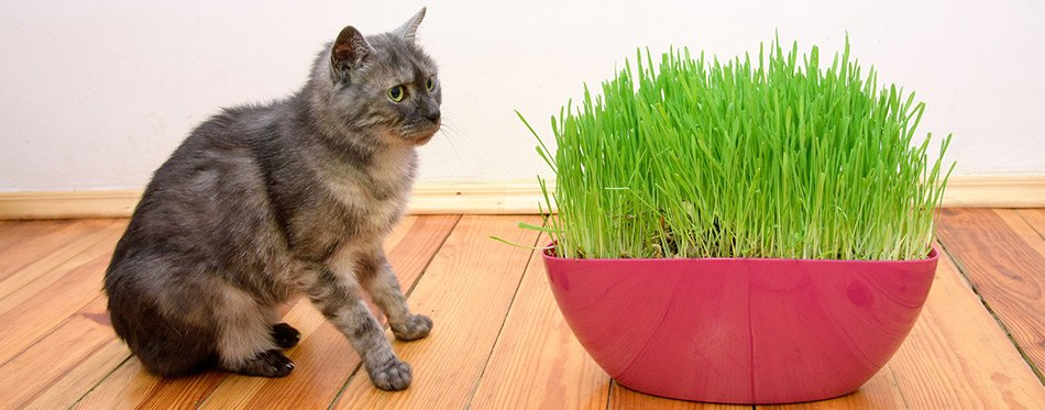 Cat and cat grass