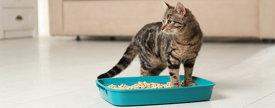 Cat in the litter box
