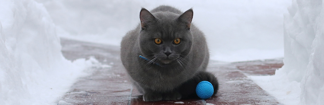 Chartreux Cat: Breed Information, Characteristics, and Facts