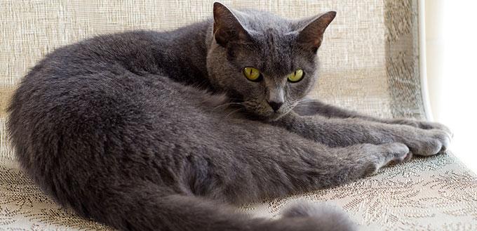 Chartreux cat lying