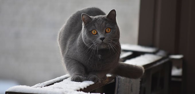 Chartreux cat on balcony