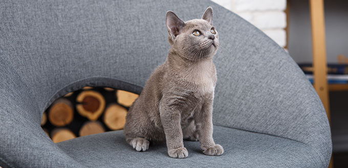 Chartreux cat sitting in a chair
