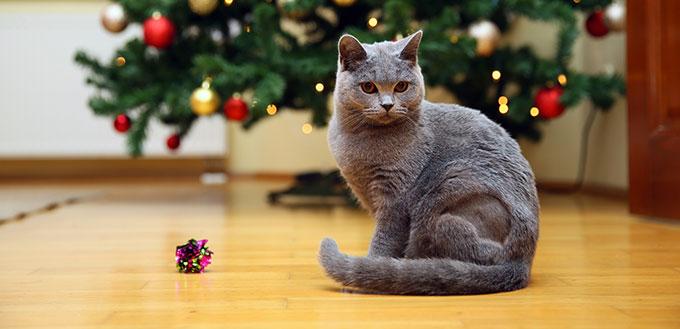 Chartreux cat sitting