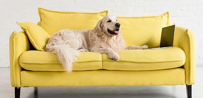 Cute golden retriever lying on yellow sofa