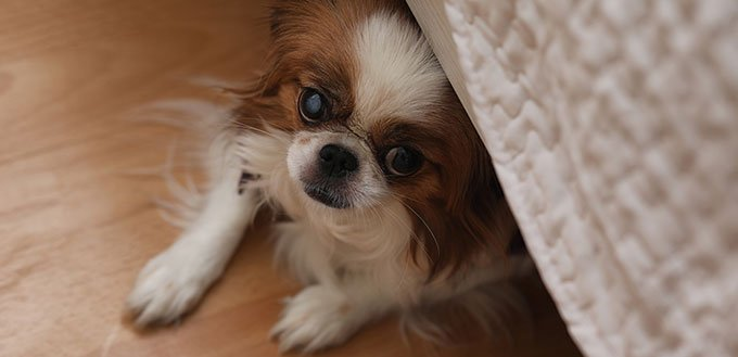 Decorative breed of dogs. A small domestic dog. The dog under th
