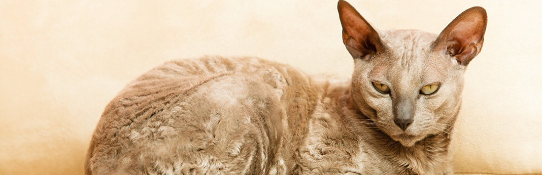 Egyptian-Mau-Cat-Breed-Information,-Characteristics,-and-Facts