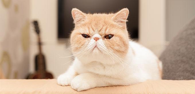Exotic Shorthair Cat on sofa
