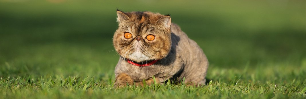 Exotic Shorthair Cat: Breed Information, Characteristics, and Facts