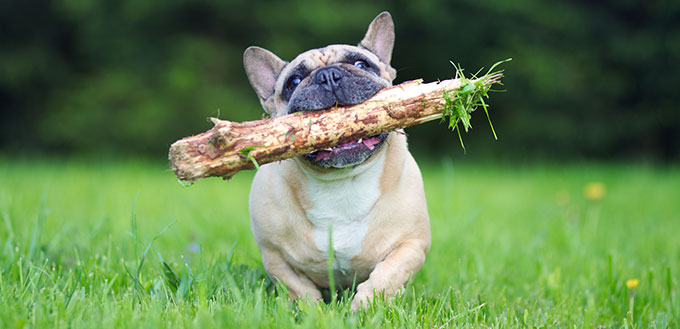 French Bulldog running with stick in mouth