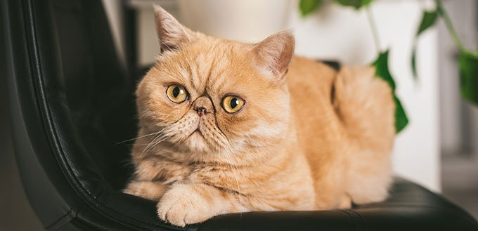 Ginger Exotic Shorthair Cat on black chair
