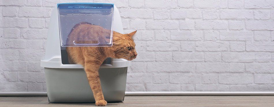 Ginger cat going out of the litter box