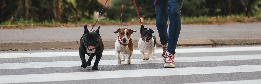 Group Dog Walks: Tips For Preparing Your Pup For a Pack Walk