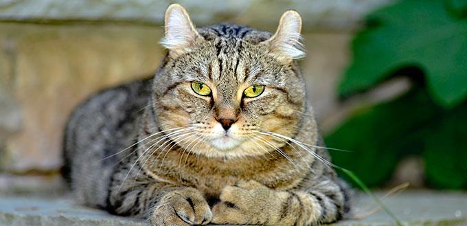 Highlander cat sitting